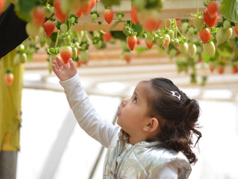 קטיף תותים במשק 77